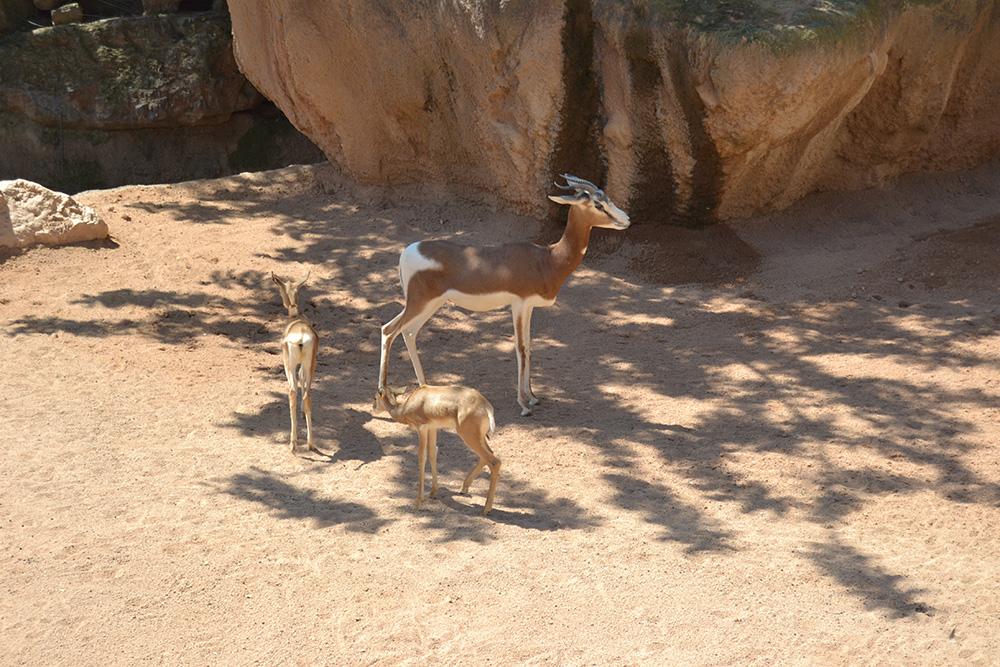 Сахарска газела