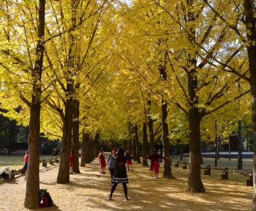 Ginkgo Tree Lane Nami Island